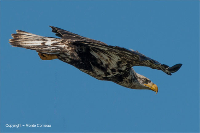 Immature Bald eagle in flight by Monte Comeau ©