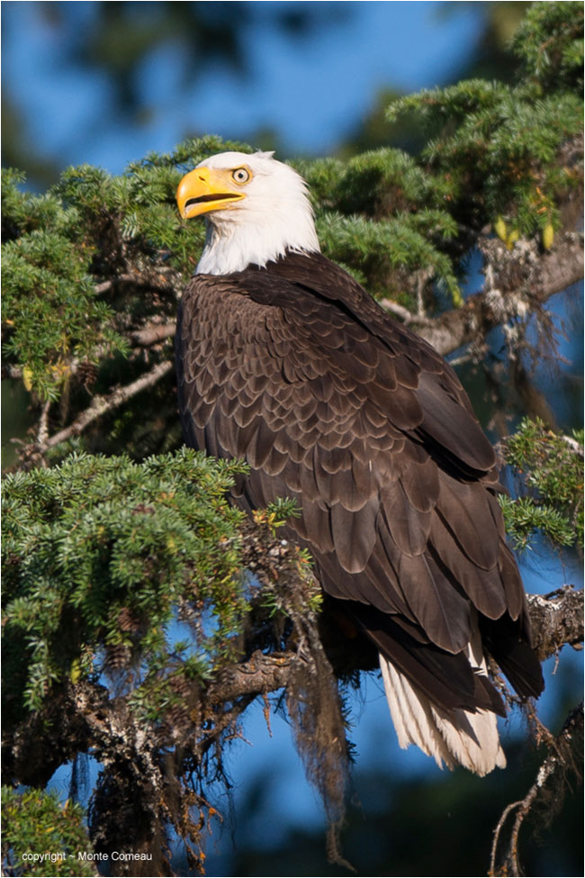 Bald Eagle by Monte Comeau ©