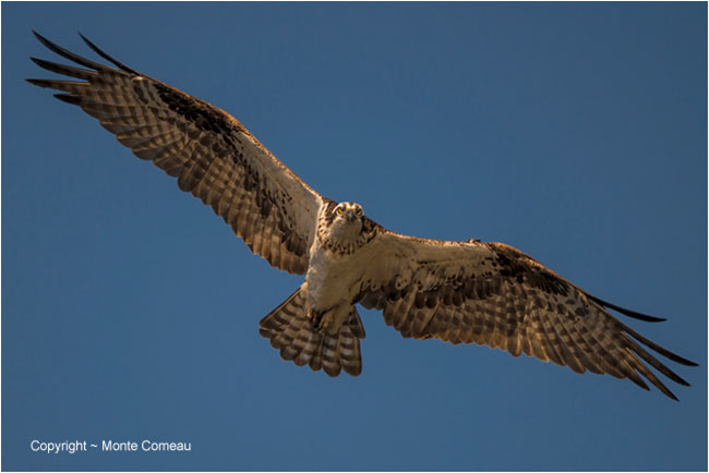 Osprey in flight by Monte Comeau ©