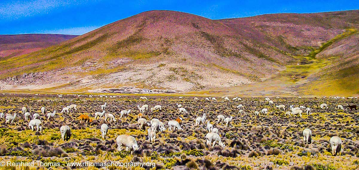 Lamas and Alpacca heards along the road in Peru by Reinhard Thomas ©