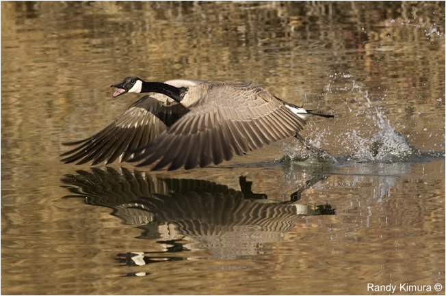 Canada goose taking off by Randy Kimura ©