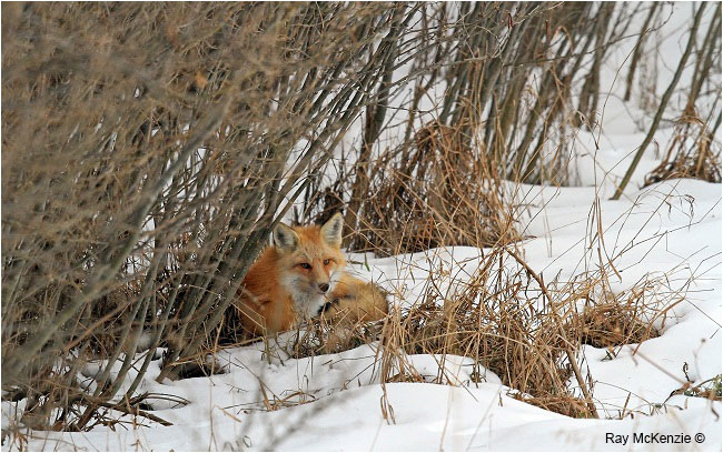 Red Fox by Ray Mckenzie ©