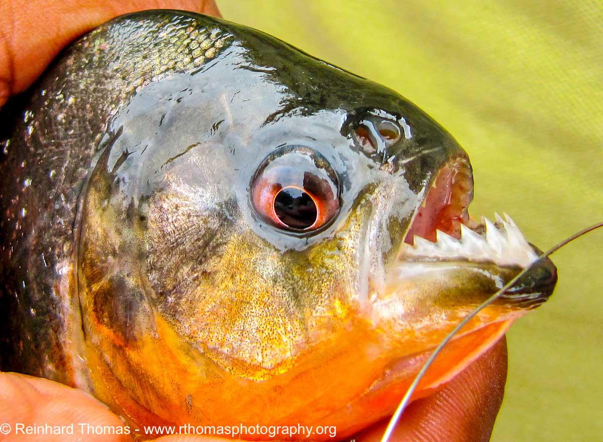 Piranha is caught with a steel line by Reinhard Thomas ©