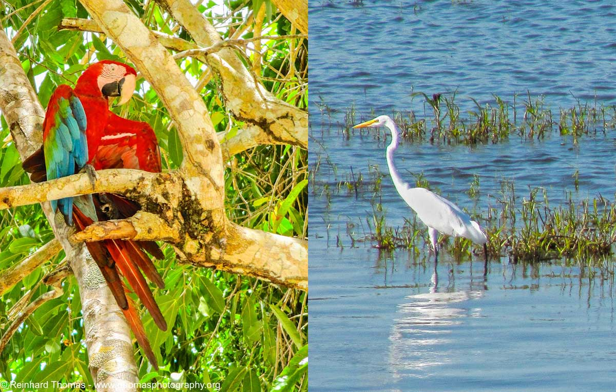 Left: Colorful Scarlet Macaw and Right: Great Egret looking for food.  by Reinhard Thomas ©