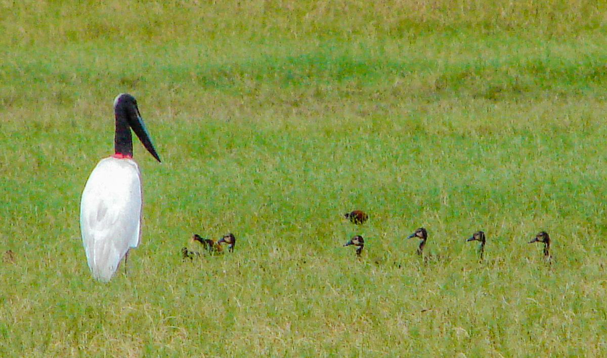 Jabiru Stork with offspring by Reinhard Thomas ©