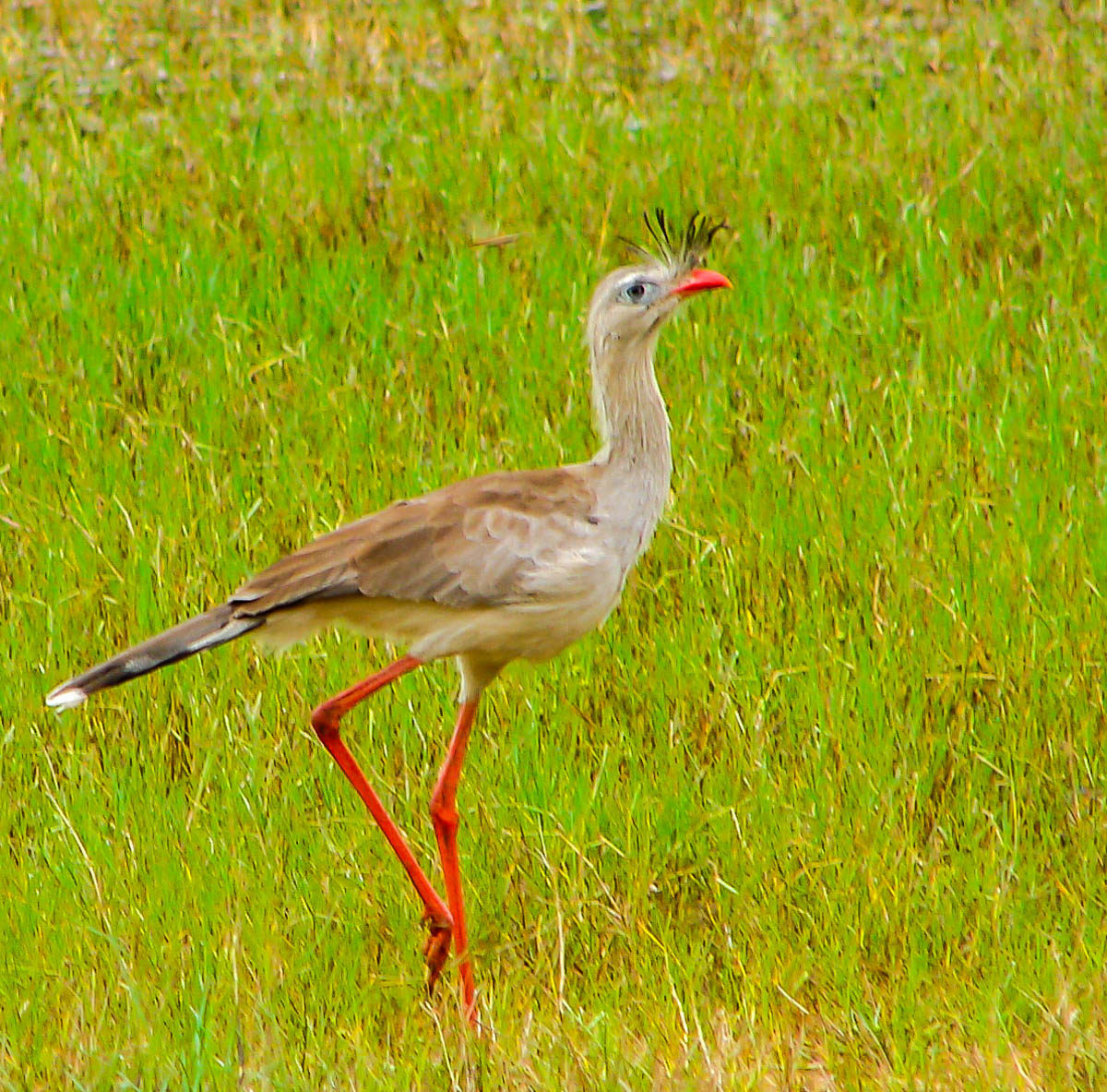 Red-legged Seriema by Reinhard Thomas ©