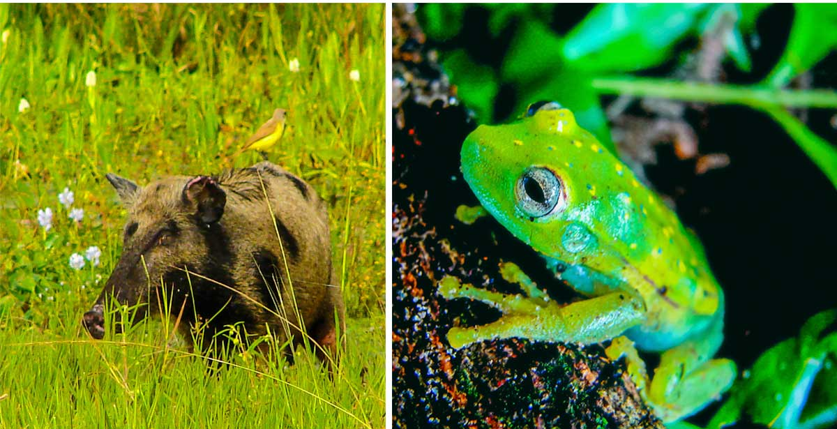 Left: Peccary. Right: Polkadot Treefrog. by Reinhard Thomas ©