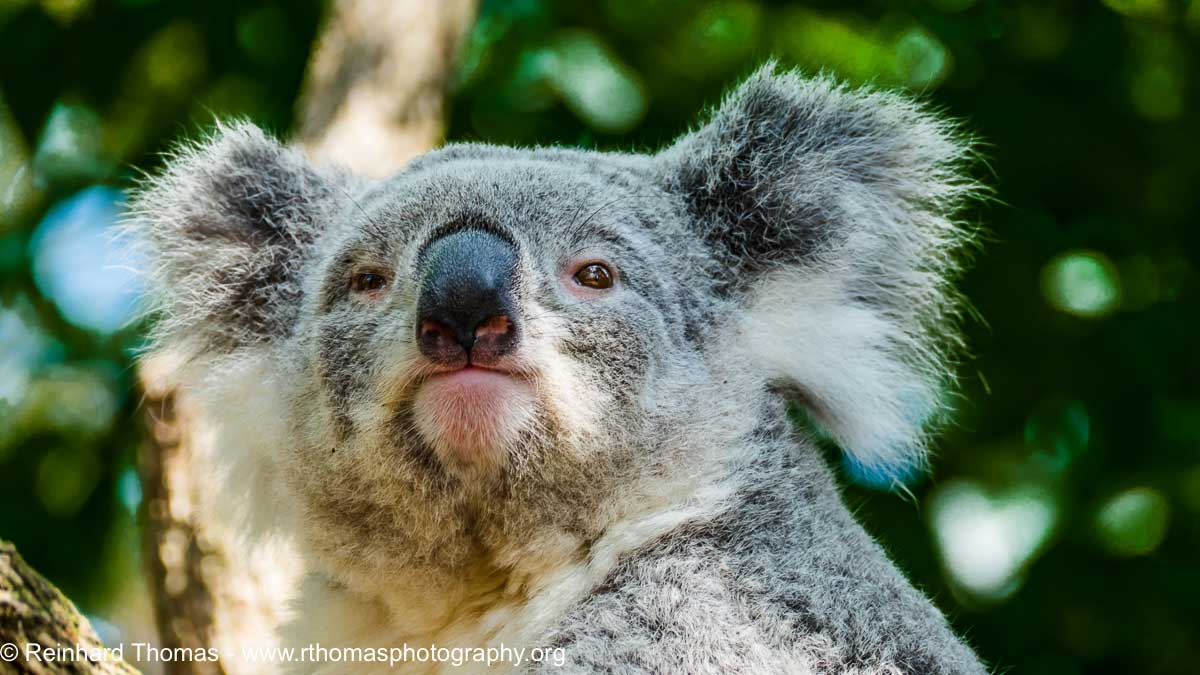 Koala by Reinhard Thomas ©