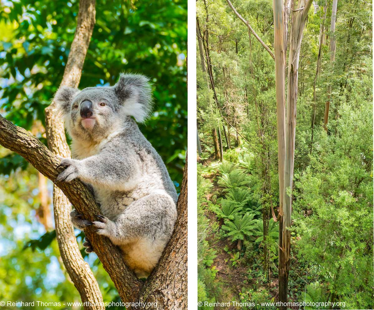 Left: Koala resting the the fork of a tree. Right: Tall Mountain Ash trees as from the canopy catwalk by Reinhard Thomas ©