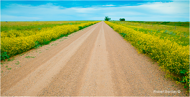 Dirt road on the prairie east of Brooks, AB by Robert Berdan ©
