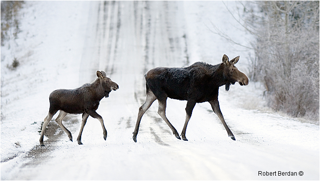 Mother and young moose crossing dirt road by Robert Berdan ©