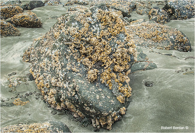 Barnacles on rocks by Robert Berdan ©