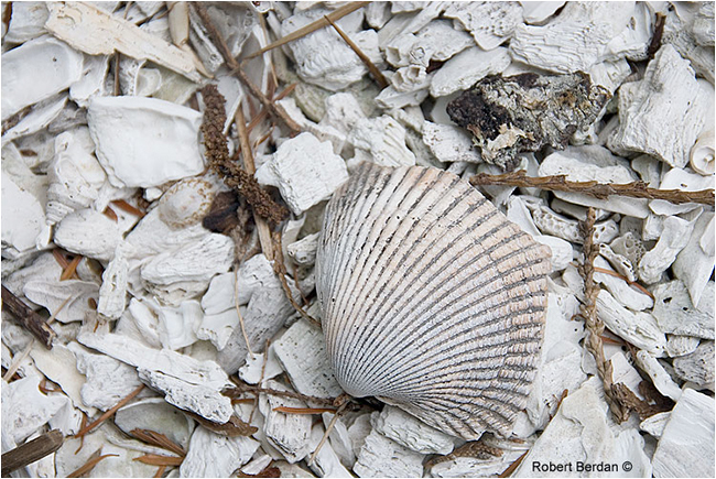 Midden closeup of shells by Robert Berdan ©