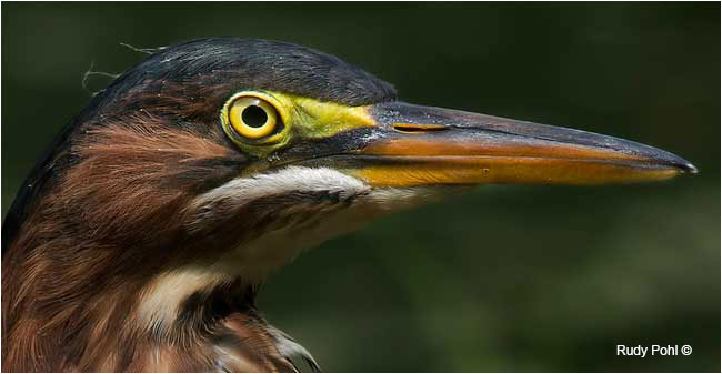 Green Heron Portrait, Mud Lake, Ottawa by Rudy Pohl ©