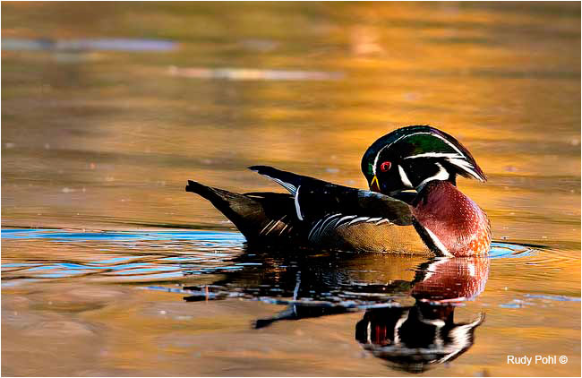 Wood Duck Male, Mud Lake, Ottawa by Rudy Pohl ©