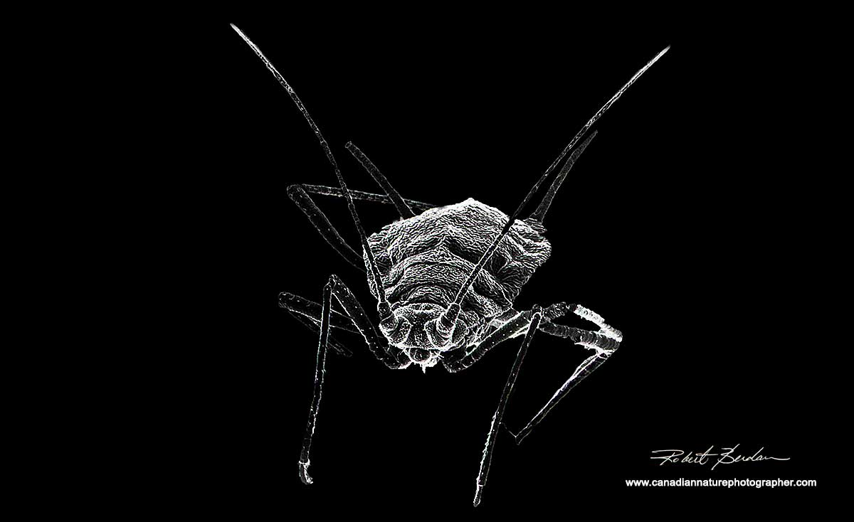 Aphid by Scanning electron microscopy by Robert Berdan ©