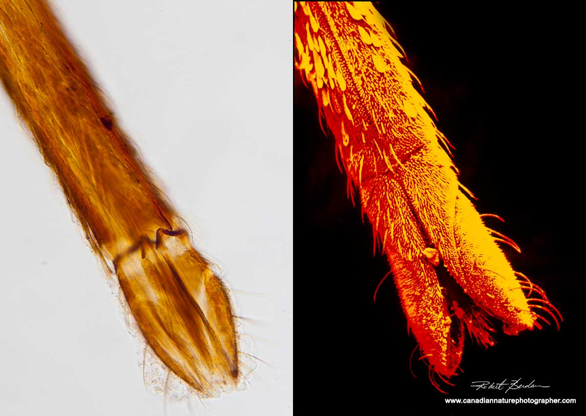 Comparision of mosquito proboscis in bright field microscopy and scanning electron microscoy Robert Berdan ©