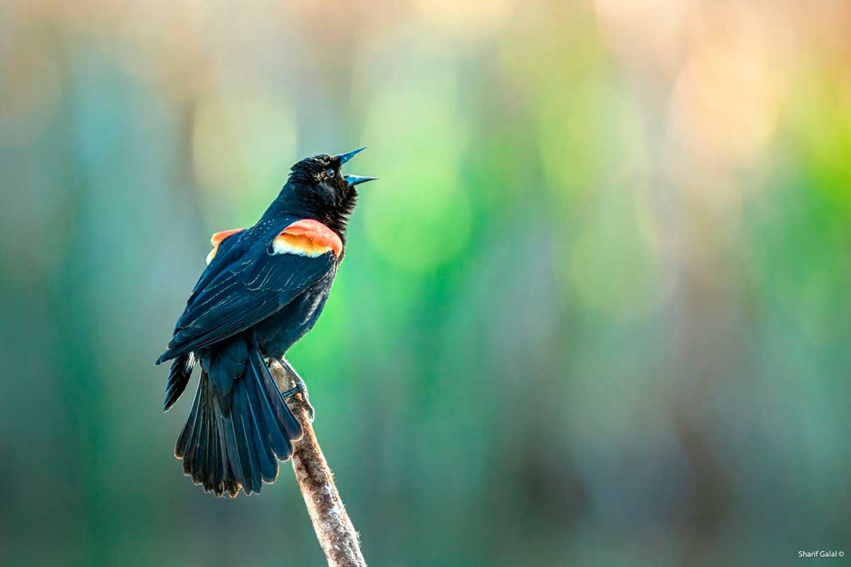 Red Winged Blackbird  by Sharif Galal ©