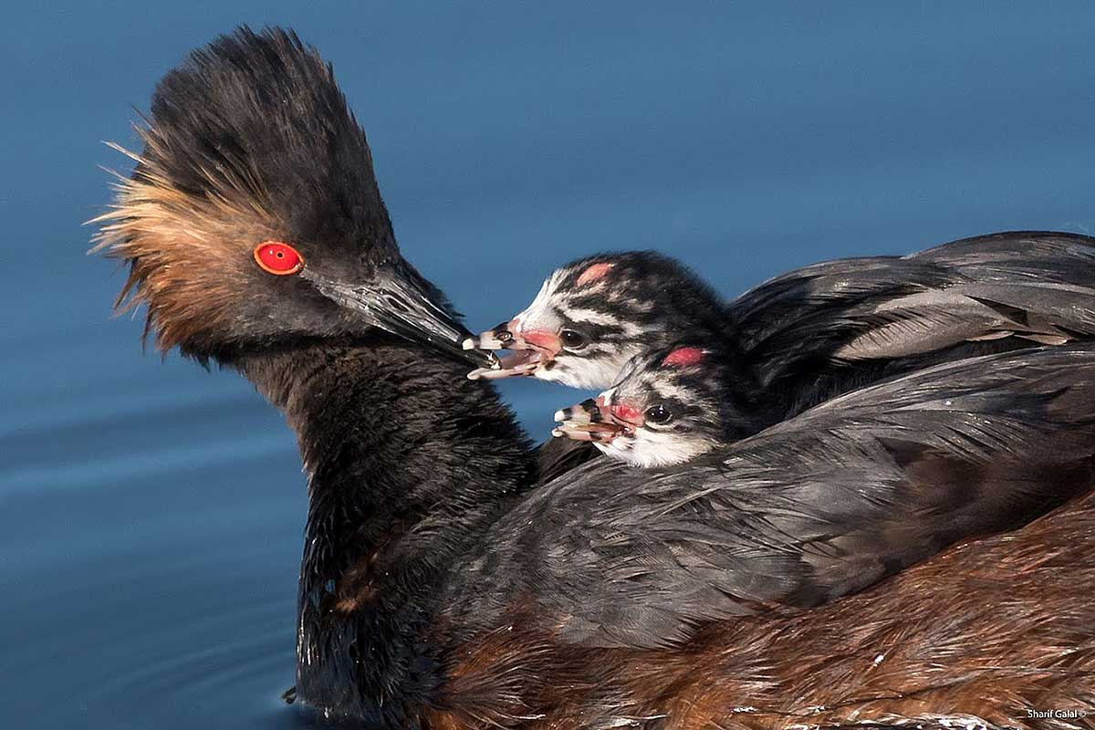 Eared Grebe with young  by Sharif Galala ©