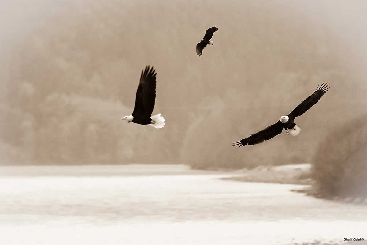 Brakendale Eagles in winter by Sharif Galal ©