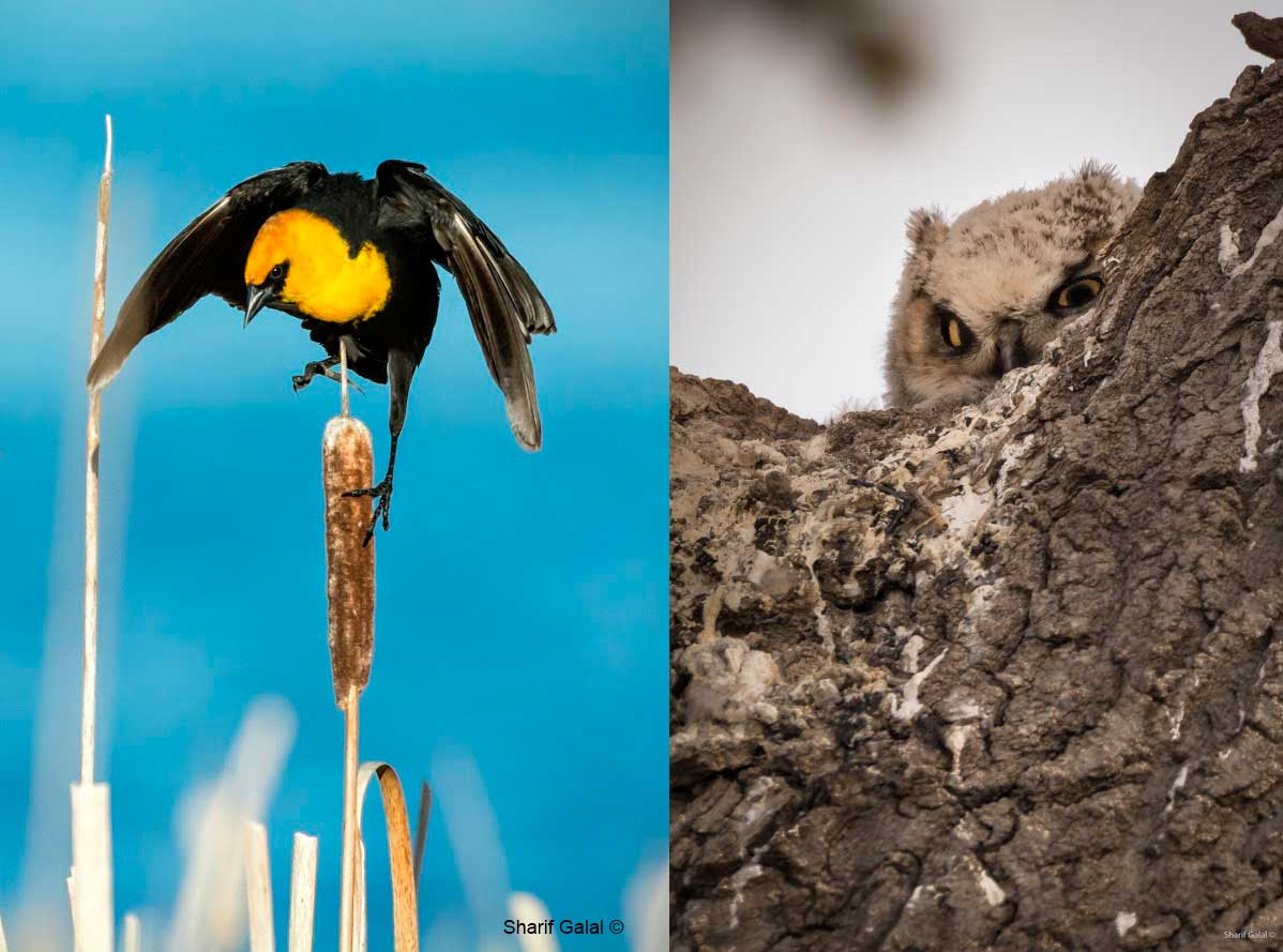 ellow-headed Blackbird and Young Great Gray Owl in tree by Sharif Galal ©