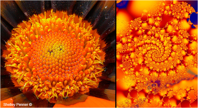 Gerber Daisy Center and Ultra Fractal #3 by Shelly Penner ©