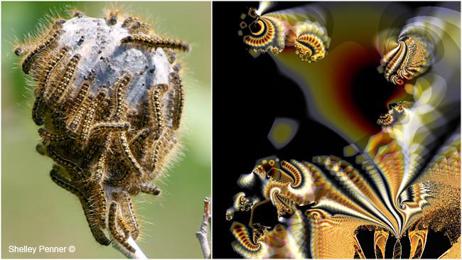 Tent caterpillars and Ultra Fractal #6 by Shelly Penner ©