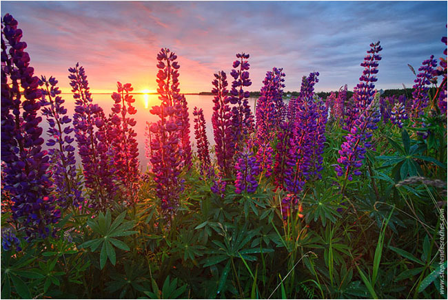 Sunrise and lupines by Stephen DesRoches ©