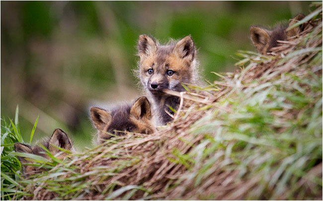 Baby Foxes by Stephen DesRoches ©
