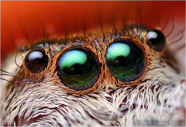 Anterior Median and Lateral Eyes of a female Paraphidippus aurantius Jumping Spider by Thomas Shahan ©