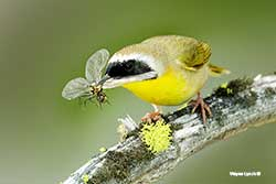 Common Yellowthroat by Dr. Wayne Lynch ©