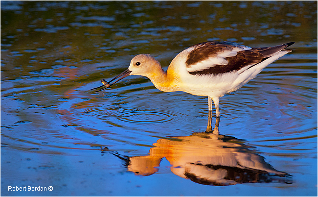 American Avocet and Fish by Robert Berdan ©