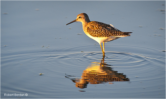 Sandpiper by Robert Berdan ©