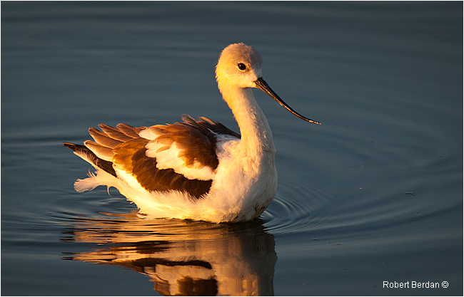 Young American Avocet by Robert Berdan ©