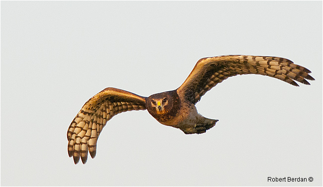 Northern Harrier - Marsh Hawk by Robert Berdan ©