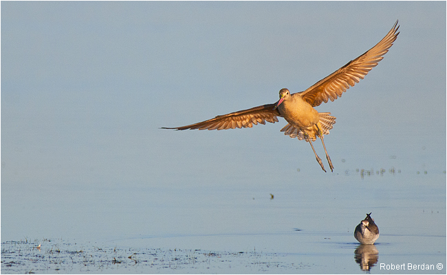Marbled Godwit in flight by Robert Berdan ©