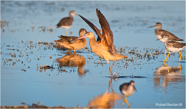 Marbled Godwit by Robert Berdan ©