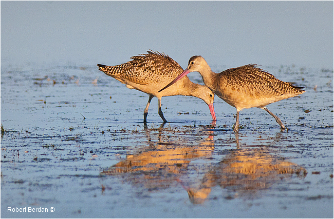 Marbled Godwits by Robert Berdan
