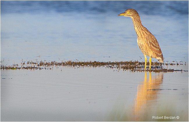 Immature black-crowned night-heron by Robert Berdan ©