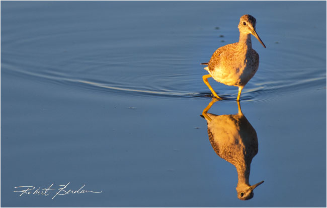 Greater Yellowlegs by Robert Berdan ©
