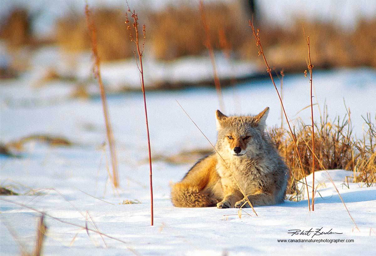 Coyote laying in snow Vermilion Lakes Banff National Park by Robert Berdan
