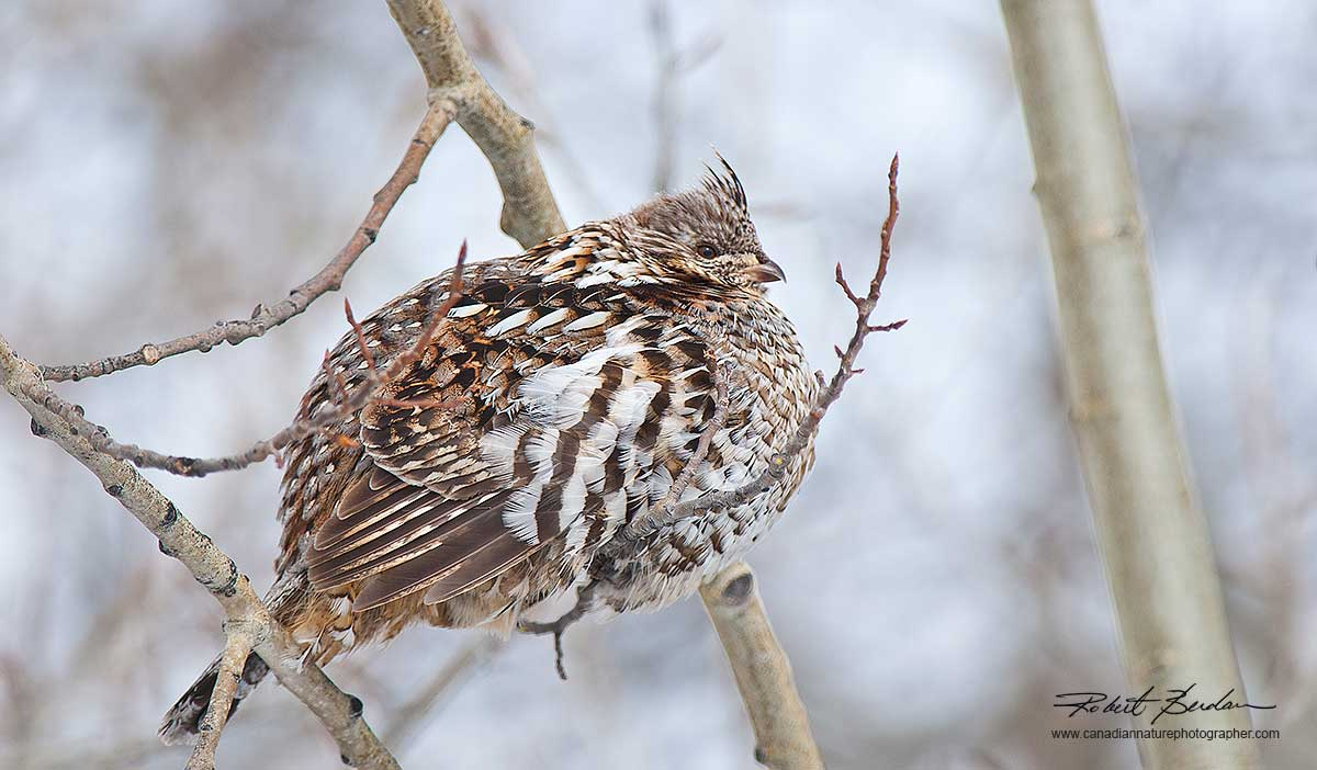 Spruce Grouse in willow tree in winter by Robert Berdan ©