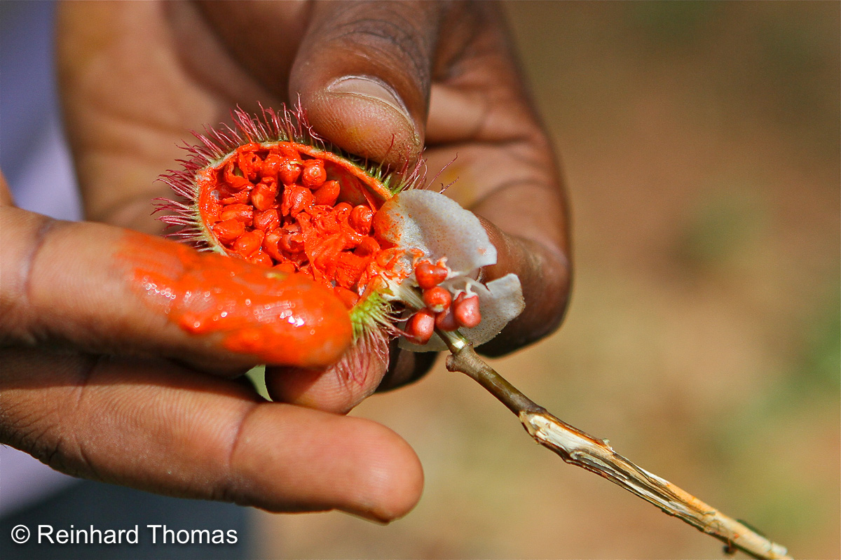 Fruit of the Achiote tree by Reinhard Thomas ©