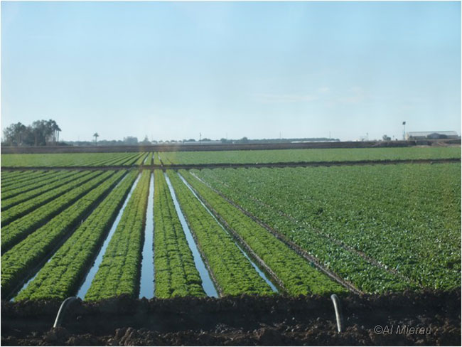 Irrigated vegetables Yuma by Al Mierau ©