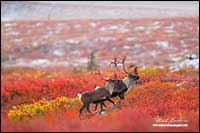 Caribou on tundra after first snow fall by Robert Berdan