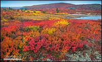 Colourful dwarf birch and willow cover the tundra in autumn by Robert Berdan