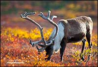 Caribou bull in autumn feeding next to Point Lake, NT by Robert Berdan