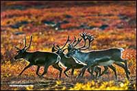 Small herd of Caribou gather in autumn near Point Lake Northwest Territories by Robert Berdan