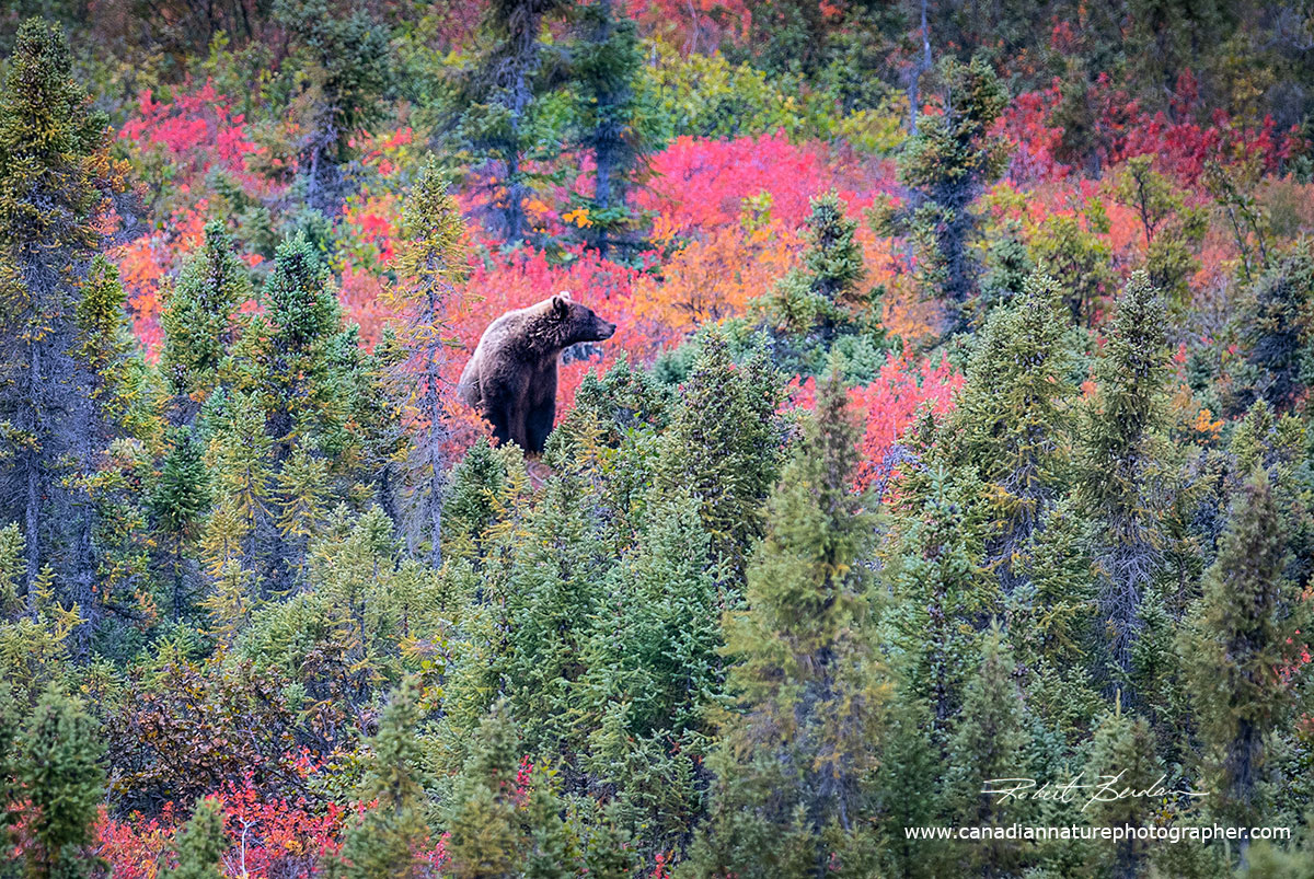 Grizzly surrounded by trees and photographed from the safety of our boats by Robert Berdan ©