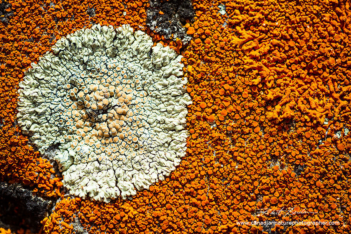 Orange Lichen is Xanthori sp growing directly on the Canadian Shield Granite by Robert Berdan ©